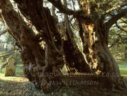 Click to a larger version of Farringdon Yew, Hampshire (Church of England): photo © Jean Williamson