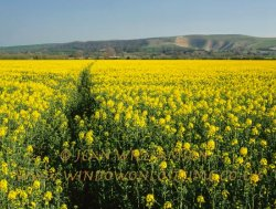Click to a larger version of Oil Seed Rape, Vale of White Horse, Oxfordshire: photo © Jean Williamson