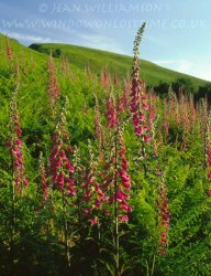 Click to a larger version of Fron Uchaf Foxgloves, Bodfari, Denbighshire: photo © Jean Williamson