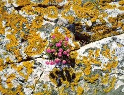 Click to a larger version of Thrift and Lichens, Bardsey Island, Gwynedd (Bardsey Island Trust): photo © Mick Sharp