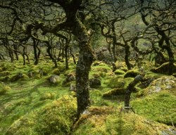 Click to a larger version of Black-a-Tor Copse, Dartmoor, Devon (Duchy of Cornwall/English Nature): photo © Jean Williamson