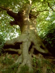 Click to a larger version of Hedgerow Oak, Llangynhafal, Denbighshire: photo © Jean Williamson