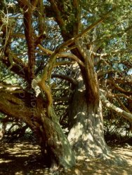 Click to a larger version of Ancient Yews, Kingley Vale, West Sussex (English Nature): photo © Mick Sharp