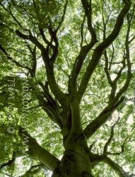 Click to a larger version of Beech Tree, Wayland's Smithy, Oxfordshire (English Heritage/National Trust): photo © Jean Williamson