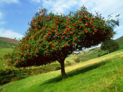 Click to a larger version of Rowan Tree, Moel Famau (Denbighshire County Council): photo © Mick Sharp